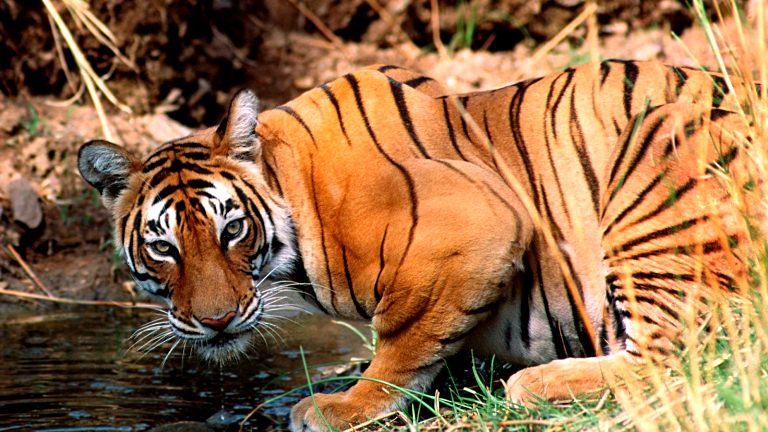 Taj -& Tiger Tour